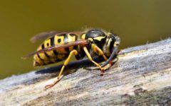Insektenschutz Tipps gegen Wespen Wespe