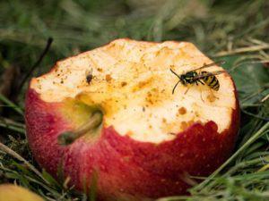 Insektenschutz Tipps gegen Wespen Fallobst