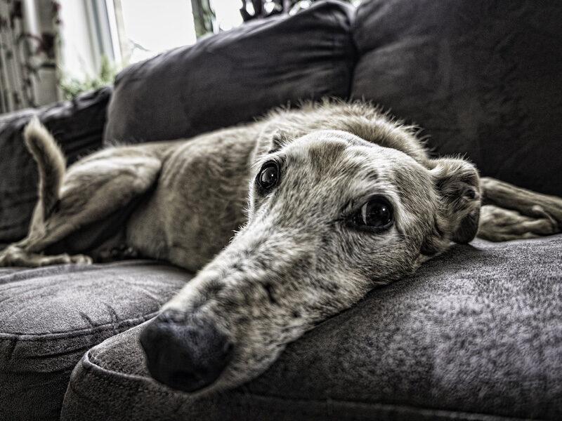 Hund auf Couch