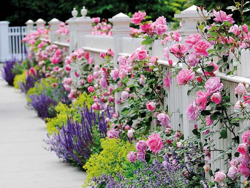 Rosen wachsen aus einem Zaun heraus